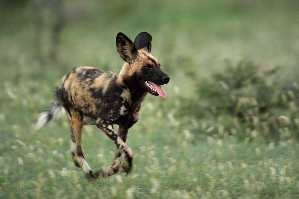 Young Wild Dog Running