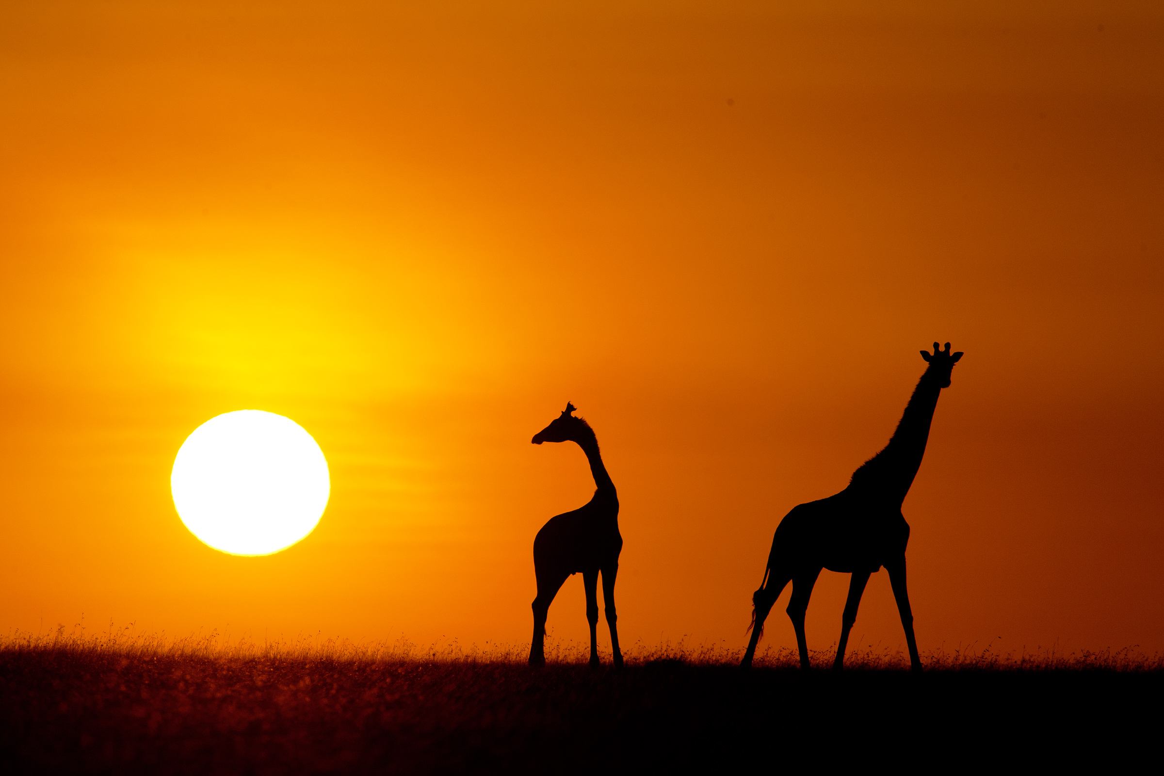 home-giraffe-sunset