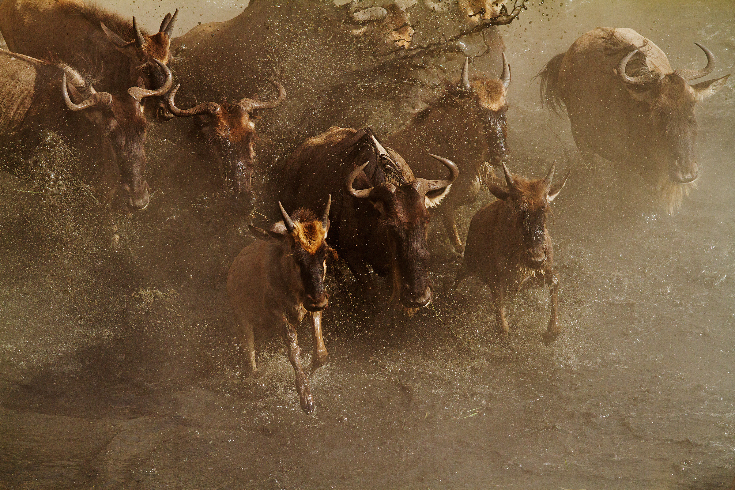 home-wildebeest